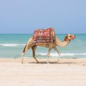 voyage-en-tunisie-chameau