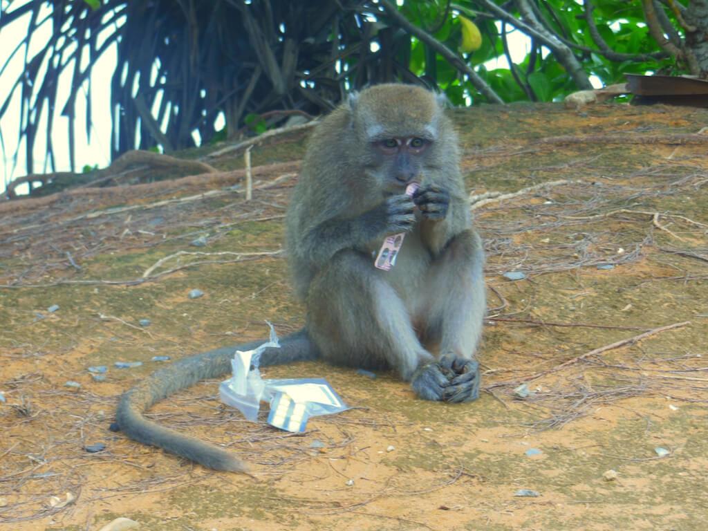 singe voleur thailande